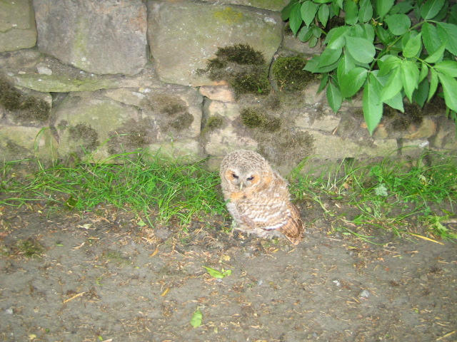 View of a baby owl sitting on the lane leading to Cornhills farmhouse.
