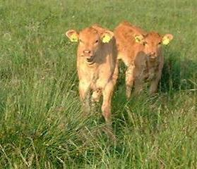 Northumberlandfarmhouse calves with ear tags