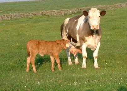 Northumberlandfarmhouse new born calf