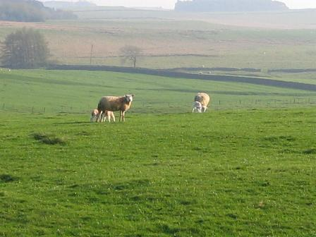 sheep and their lambs in the front field at Cornhills Farmhouse.