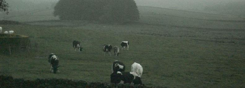 British Blue heifers at Cornhills farmhouse