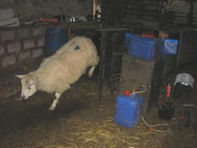 a sheep ieaving the crate after being scanned at Cornhills Farm.