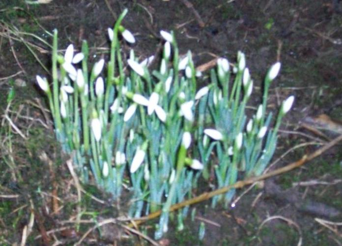 Snowdrops in the garden at Cornhills farmhouse
