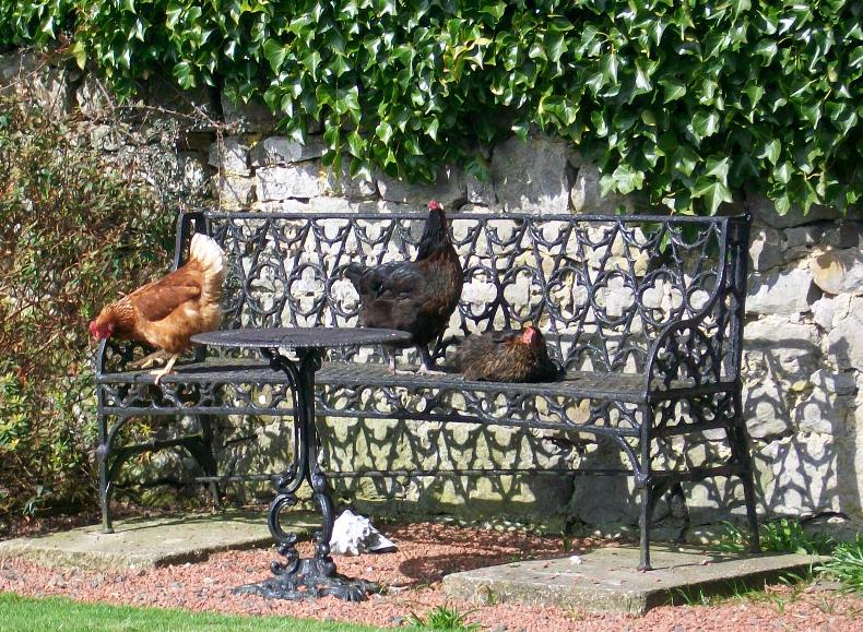 sun bathing hens in the garden at Cornhills farmhouse