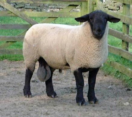 Northumberlandfarmhouse Suffolk tup